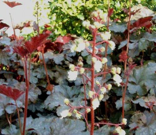 Heuchera White Flowering Coral Bells 50 seeds VERY RARE (SHADE) (Bells Shade Coral)
