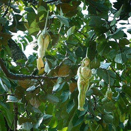 wholesale-10pcs-rare-female-ginseng-health-fruit-eggplant-pepino-seed-tree-plant