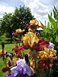 #4: Reblooming Bearded Iris -30 Rhizomes - Colorful Cocktail Mix - Blooms Twice in One Year | Ships from SZDYSD