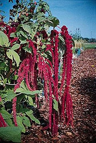 Amaranthus Red Tails Annual Seeds