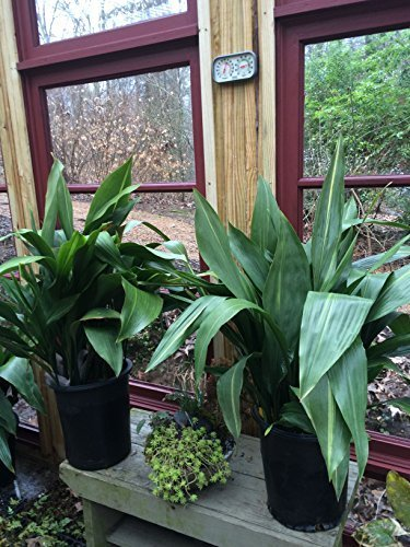 Evergreen Aspidistra elatior (Cast Iron Plant)