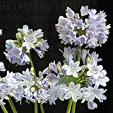 "Summer Skies Agapanthus Plant - Long Summer Blooms - 2x3"" Pot"