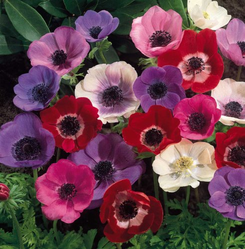 (Mix Anemone Bulbs-2 Bulbs- Lovely Bonsai Summer Blooming Perennial Easy Survive Bulbs Garden Decor )