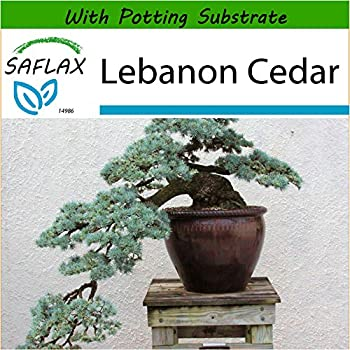 Cedro del L/íbano 20 semillas Cedrus libani SAFLAX