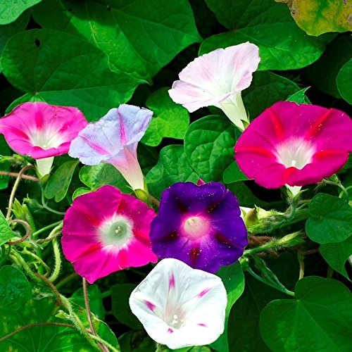 - Morning Glory Purple Mix Seeds Balcony Annual Flowers for Planting Organic Outdoor Non GMO 25 Seeds