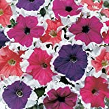 Petunia - Frost Series Flower Garden Seed - 1000 Pelleted Seeds - Color Mix Blooms - Annual Flowers - Single Grandiflora Petunias
