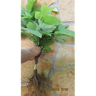 Organic SEEDLINGS – Yellow Poplar Seedlings Qty 20 Naturally sprouted, Rooted Starters, 12inch Tall #STt9 : Garden & Outdoor