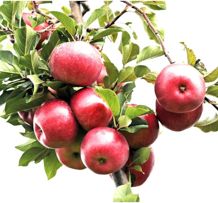 Fresh Picked Macintosh Apple Fragrance Oil Scent for Making Candles, Soaps, Sprays and More (8oz)