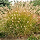 Desert Plains Fountain Grass - 1 Gallon Pot (Pennisetum alopecuroides 'Desert Plains')