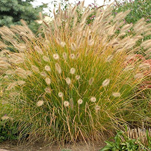 Desert Plains Fountain Grass - 1 Gallon Pot (Pennisetum alopecuroides 'Desert Plains')
