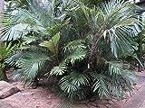 HOT - Arenga engleri Sugar Palm - Cold Hardy - Seeds