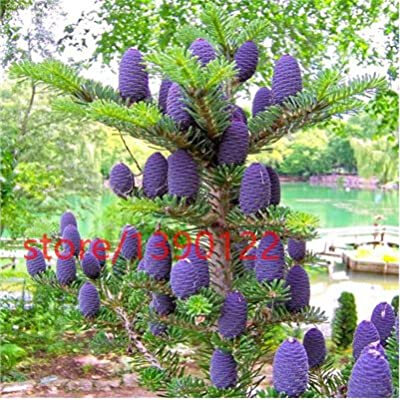 50pcs/lot Korean Fir,Abies koreana seeds bonsai flower seeds,tree seeds, plant for home & garden