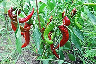 25 JIMMY NARDELLO PEPPER Sweet Red Italian Capsicum Annuum Vegetable Seeds