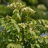 Murraya Koenigii Seeds