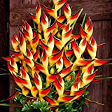 Sholdnut Heliconia Seeds Rare Flower Seeds Home Garden Bonsai Potted Plant Seeds Flowers