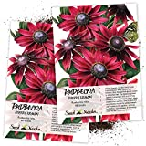 Seed Needs, Cherry Brandy Rudbeckia (Rudbeckia hirta) Twin Pack of 90 Seeds Each