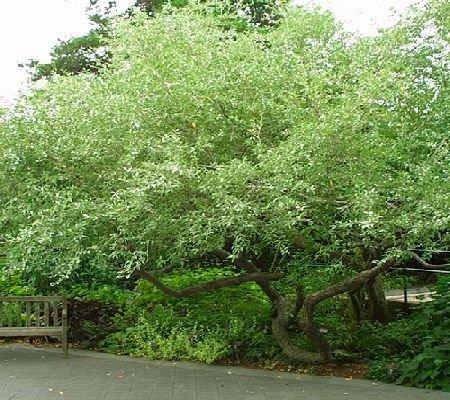 Autumn Olive Shrub - 3