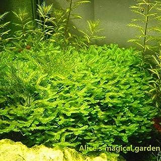 AGROBITS 9: 500Pcs Nuovo Acquario s Seeds Seeds (Mix) Acqua Pianta acquatica della Famiglia Easy Plant