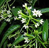 "Hirt's Night Blooming Jasmine Plant - Cestrum nocturnum - 4"" Pot"
