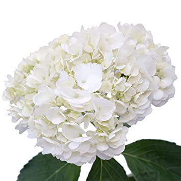 Amazon Globalrose 10 Fresh Cut White Hydrangeas Fresh
