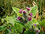 1 Packet - 30 Seeds of Burdock Lesser/Arctium Minus
