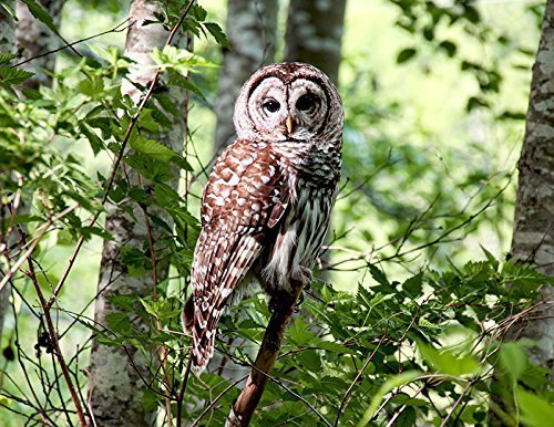 Barred Owl in Forest Fine Art Nature Photography Print - Bird Wall Decor 8.5 x - Bird Nature Photography