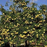 Yellow Trumpet Tree Seeds (Tecoma stans) 50+Seeds