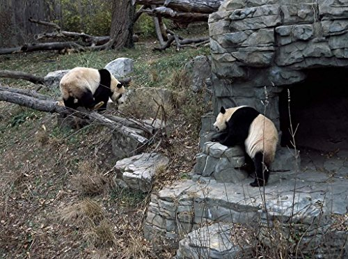 Photograph| Giant pandas, the star attraction at the Smithsonian Institution's National Zoo, Washington, D.C. 1 Fine Art Photo Reproduction 14in x 11in