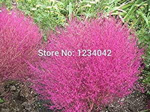 300PC Flowers and seeds, Mini Bonsai Kochia grass seed, beautiful plants