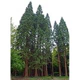 9GreenBoxs: Giant Sequoia 50 Seeds - BONSAI - Sequoia Giganteum