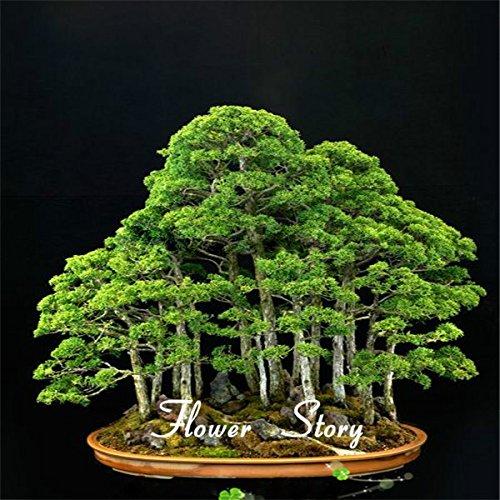 20 juniper bonsai tree Seeds potted flowers office bonsai pu