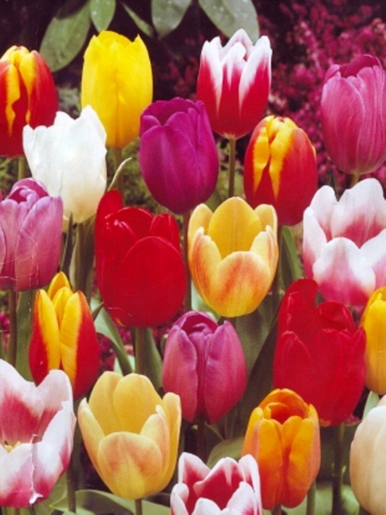 UK Stockist 100 Mixed Darwin Hybrid Tulip Bulbs Mixed Colours Spring Flowering Hardy Garden Perennial GARTHWAITE NURSERIES/®