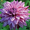 Blackberry Ripple Dahlia 2 Bulb Clumps - Deep Violet!