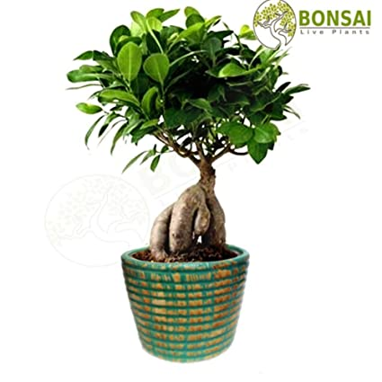 8e770862c Bonsai Live Plants Grafted Ficus for Home Garden - 3 Years Old - Air  Purifying Plant  Amazon.in  Garden   Outdoors