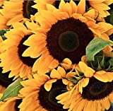 buy Mammoth Grey Stripes Sunflower Seeds - Heads up to 20