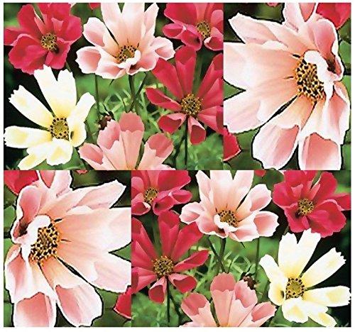 BULK ~ Cosmos bipinnatus - SeaShells Flower Seeds ~ The Mexican Aster