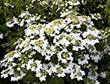 "Summer Snowflake Viburnum - 4"" Pot - White Flowers"