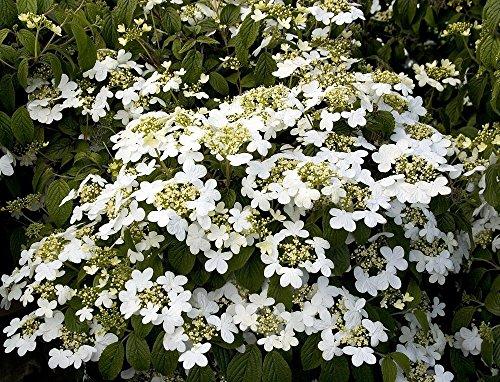 Summer Snowflake Viburnum - 4