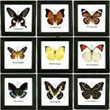 9 x Framed Wall Decor Real Beautiful Butterfly Display Insect Taxidermy 5''x5''
