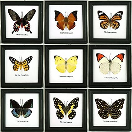 Amazon.com: 9 x Framed Wall Decor Real Beautiful Butterfly Display ...