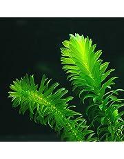 Pianta acquatica ossigenante Potamogeton Egeria Densa per laghetti, 10 unità, ideale anche come pianta per acquarii