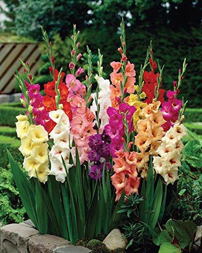 (Van Zyverden Gladiolus - Large Flowering Rainbow Mixed - Set of 25)