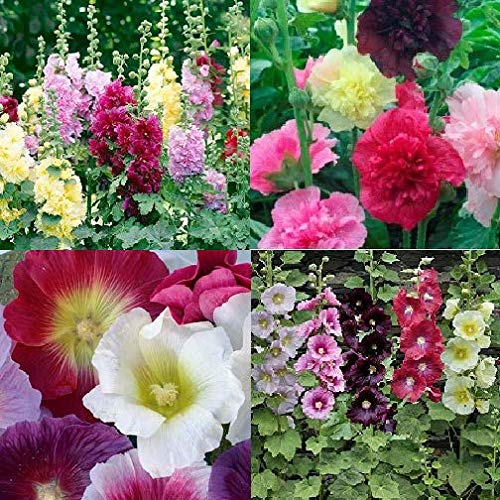 David's Garden Seeds Collection Set Flower Hollyhock Open Pollinated SL1237 (Multi) 4 Varieties 275 Non-GMO, Open Pollinated Seeds
