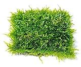 Mini Christmas Moss Mesh Pad - Vesicularia sp. Live Aquarium Plant by SoShrimp