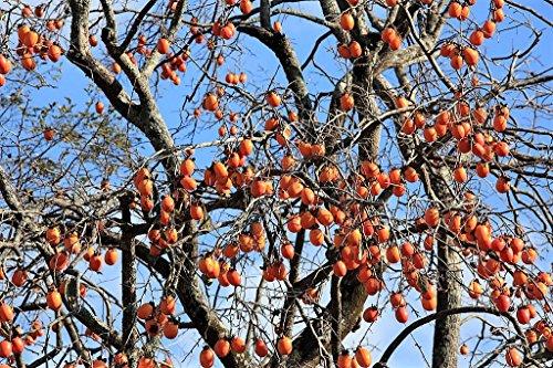 (5 JAPANESE PERSIMMON Tree Asian Diospyros Kaki Orange Red Fruit Flower Seeds)