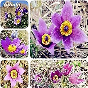 100 semillas piezas de Adonis Aestiva semilla de flor púrpura flor de la longevidad plantas de interior Semillas de protección radiológica Bonsai patio de la planta