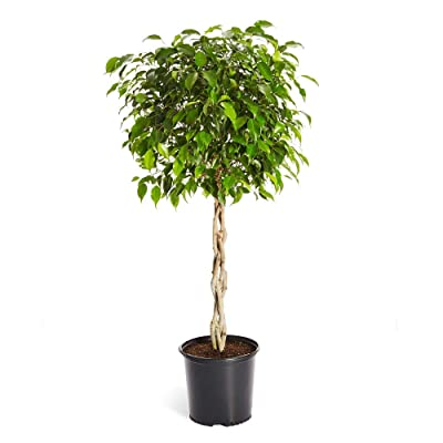 Brighter Blooms Benjamina Ficus Tree, 2-3 Ft. - The Easiest to Grow Ficus | Indoors or Outside | Low Maintenance | No Shipping to AZ : Garden & Outdoor