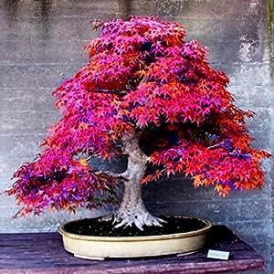 8 tipos Semillas Bonsai árbol raro semillas de arce plantas de maceta Juego para el jardín de DIY semillas de arce japonés 5 PC / Clases
