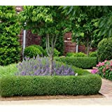 Dwarf English Boxwood ( buxus ) - Trade Gallon