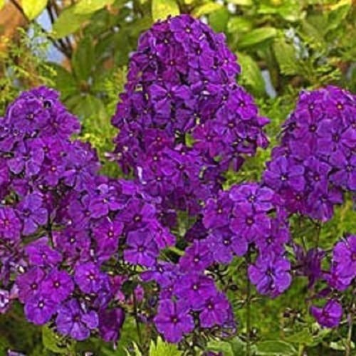 30+ Violet Phlox/Fragrant Shade-Loving Perennial Flower Seeds